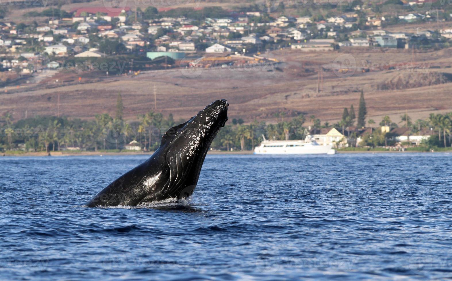 estocada de cabeza de ballena jorobada foto