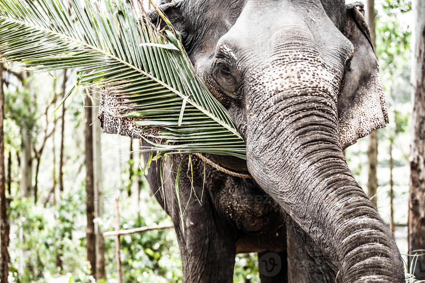 Asian elephant in India. photo