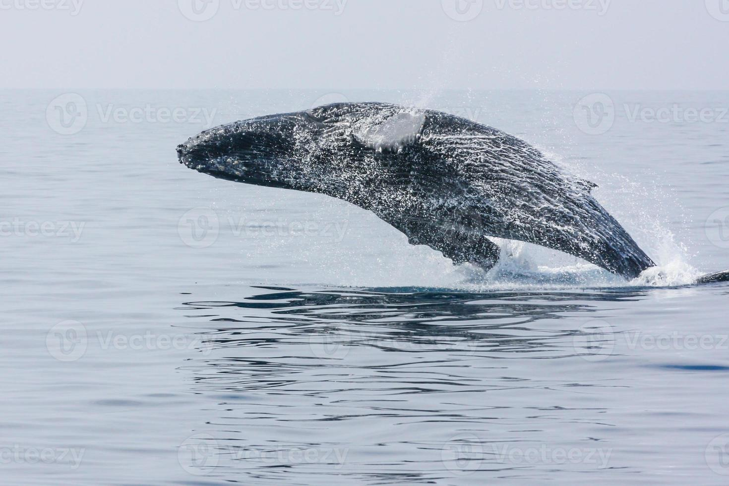 violando la ballena jorobada foto