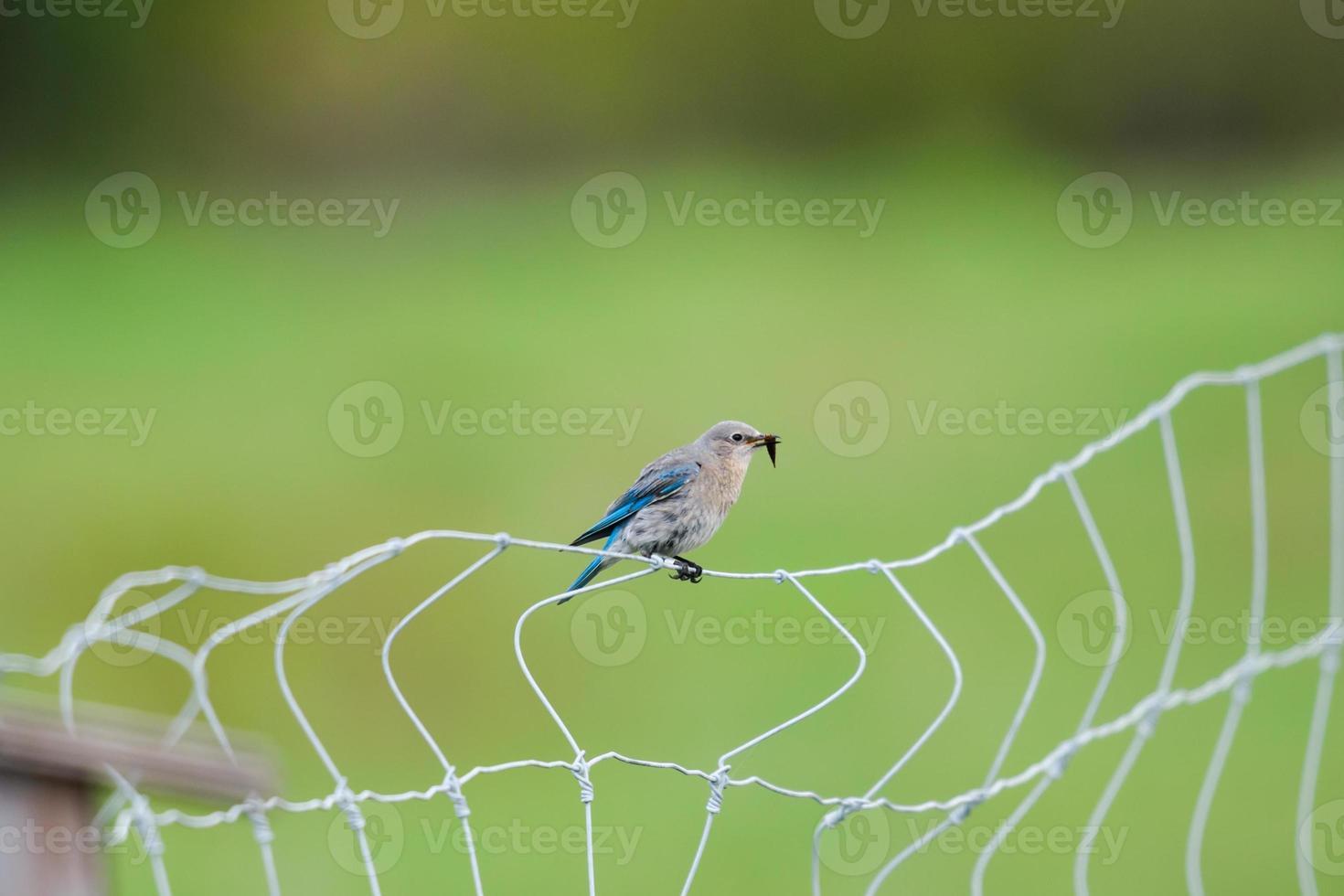 bluebird de montaña (sialia currucoides) foto