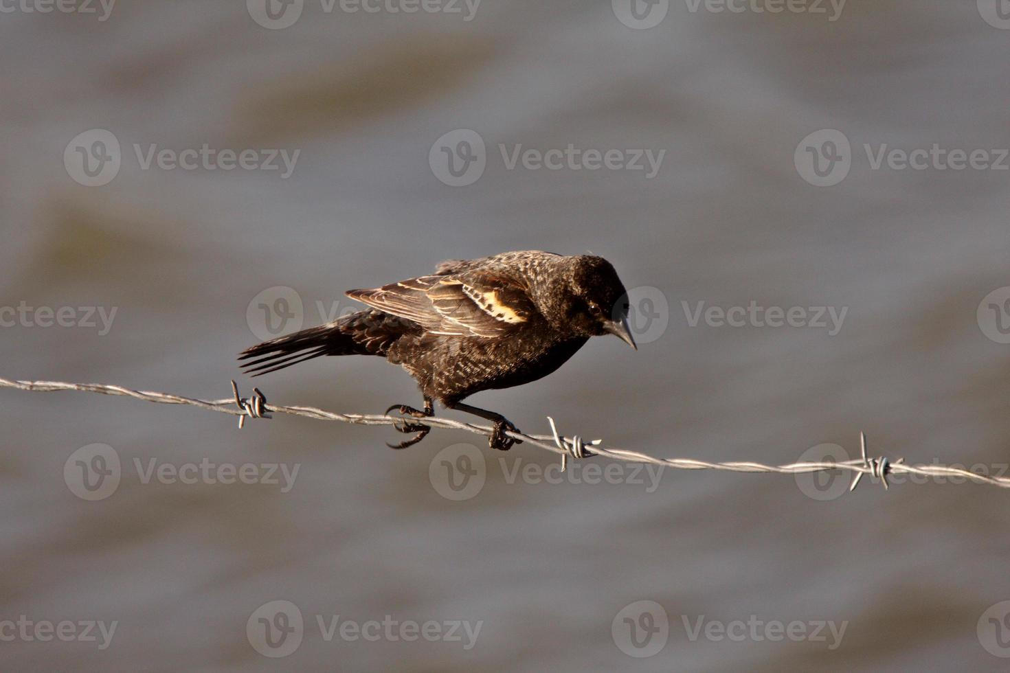 Immature Red Winged Blackbird perched on barbed wire strand photo