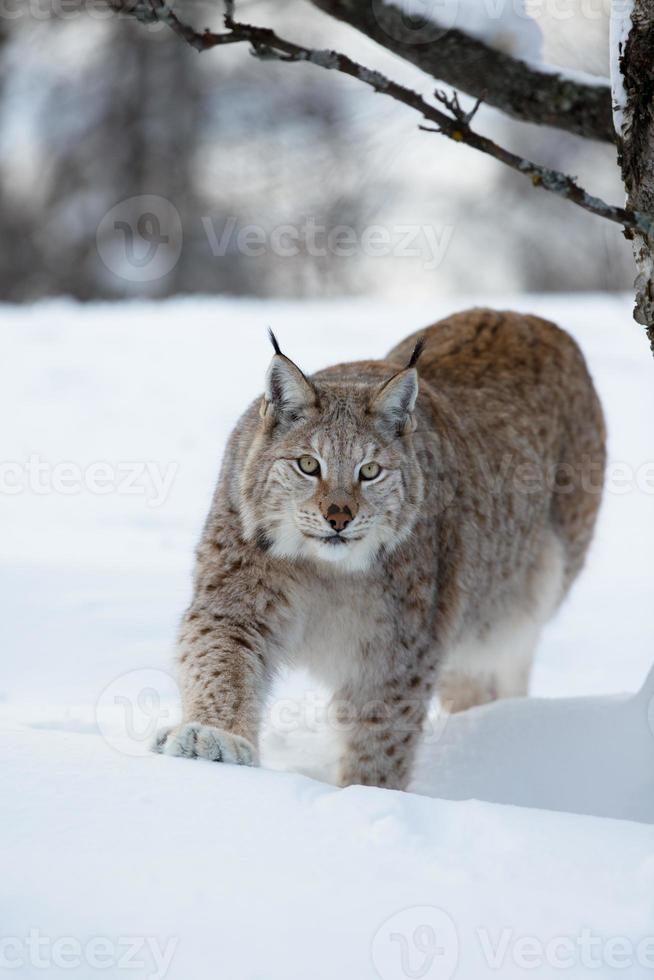 Lynx stalking in the forest photo
