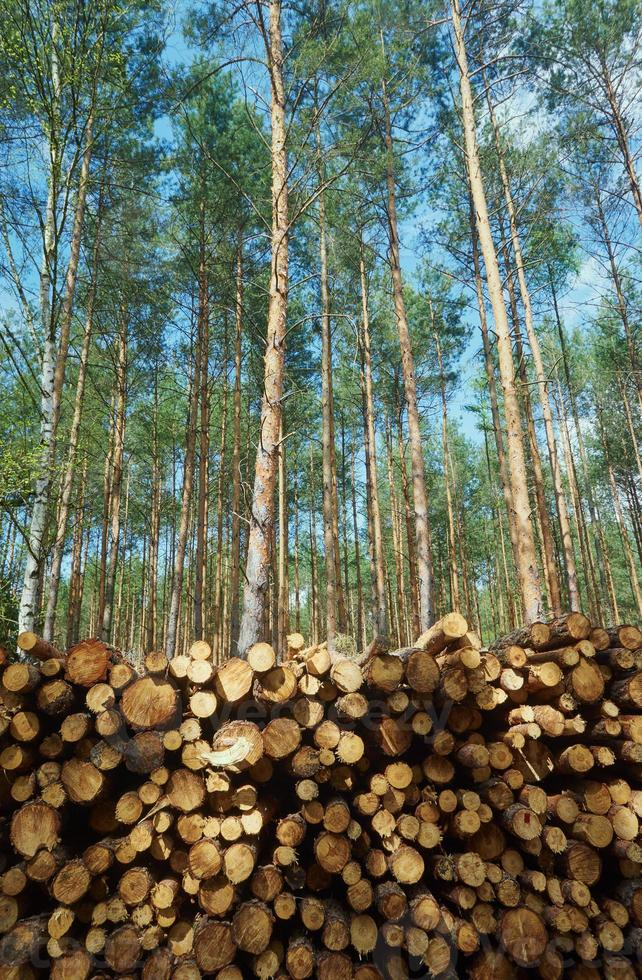 pile of wood stacked in a pine forest photo