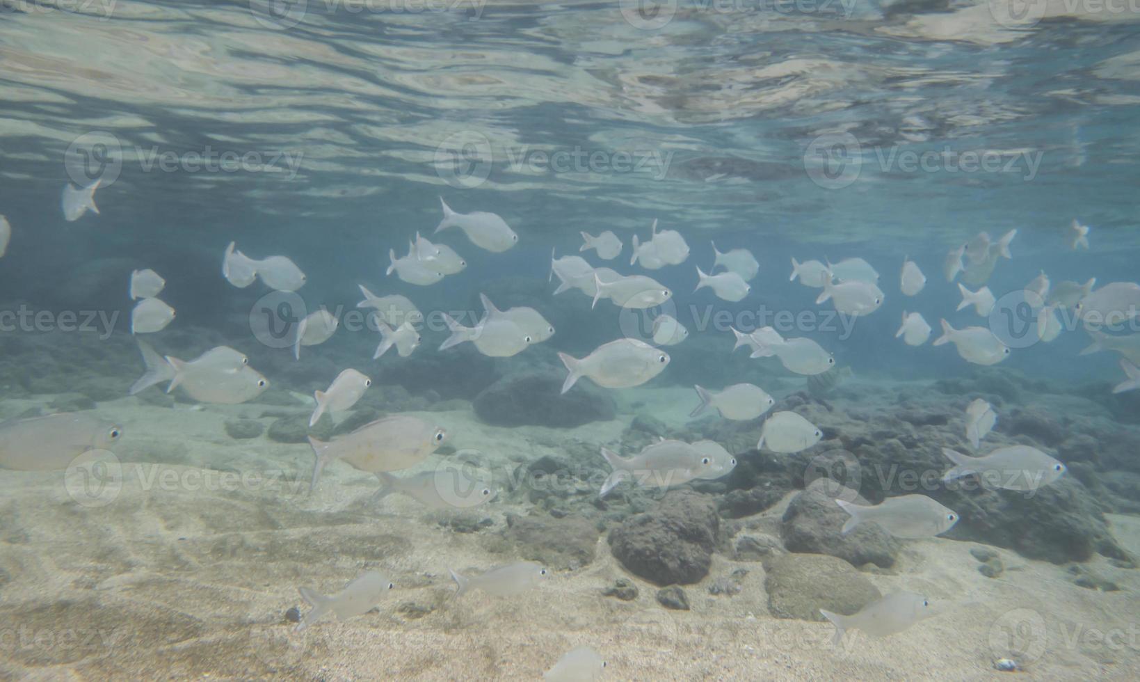 banco de peces en la bahía de hanauma foto