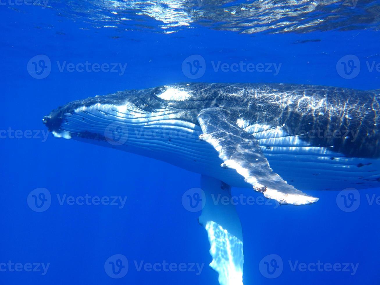 ballena jorobada foto