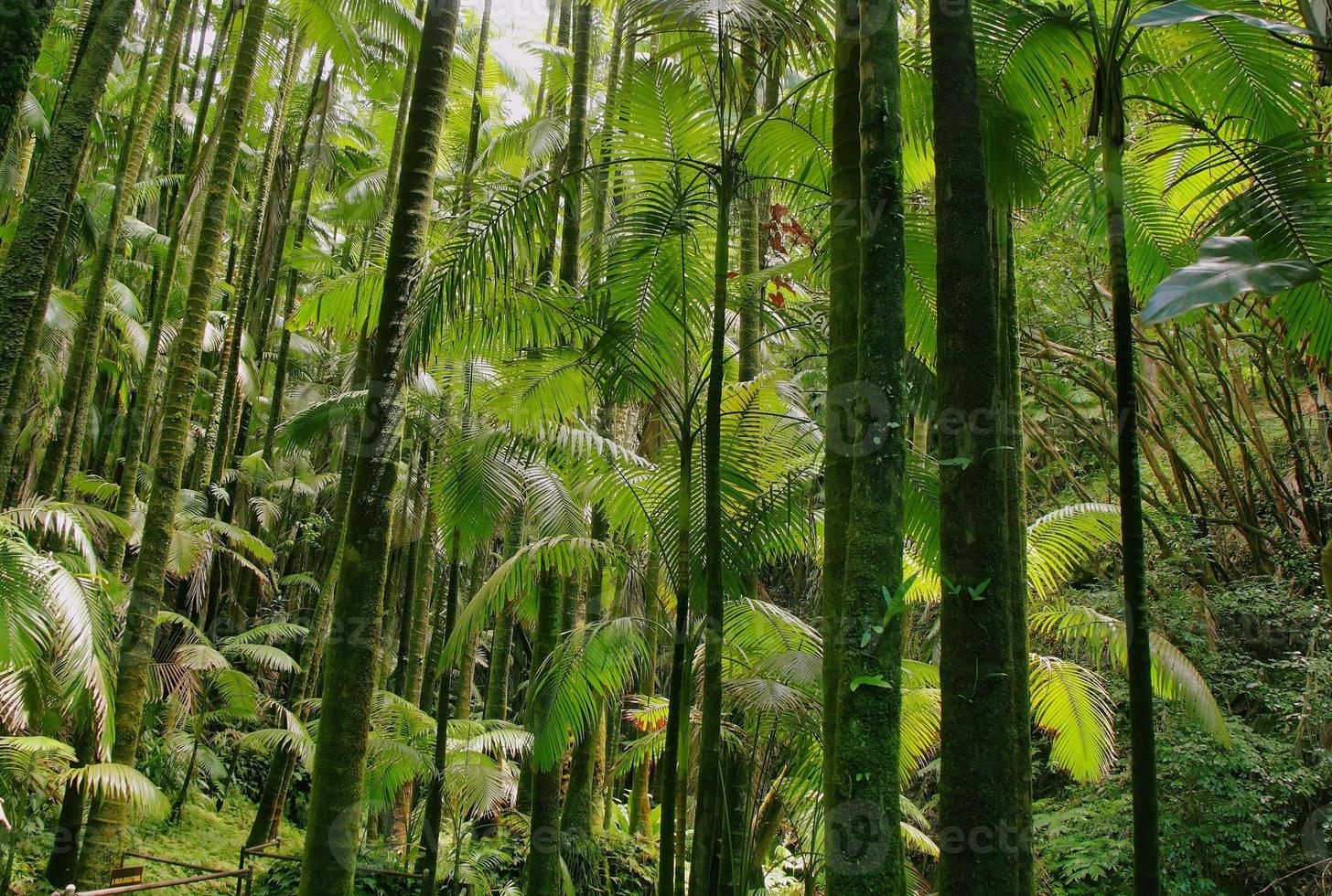Trees in Hawaii tropical botanical garden photo
