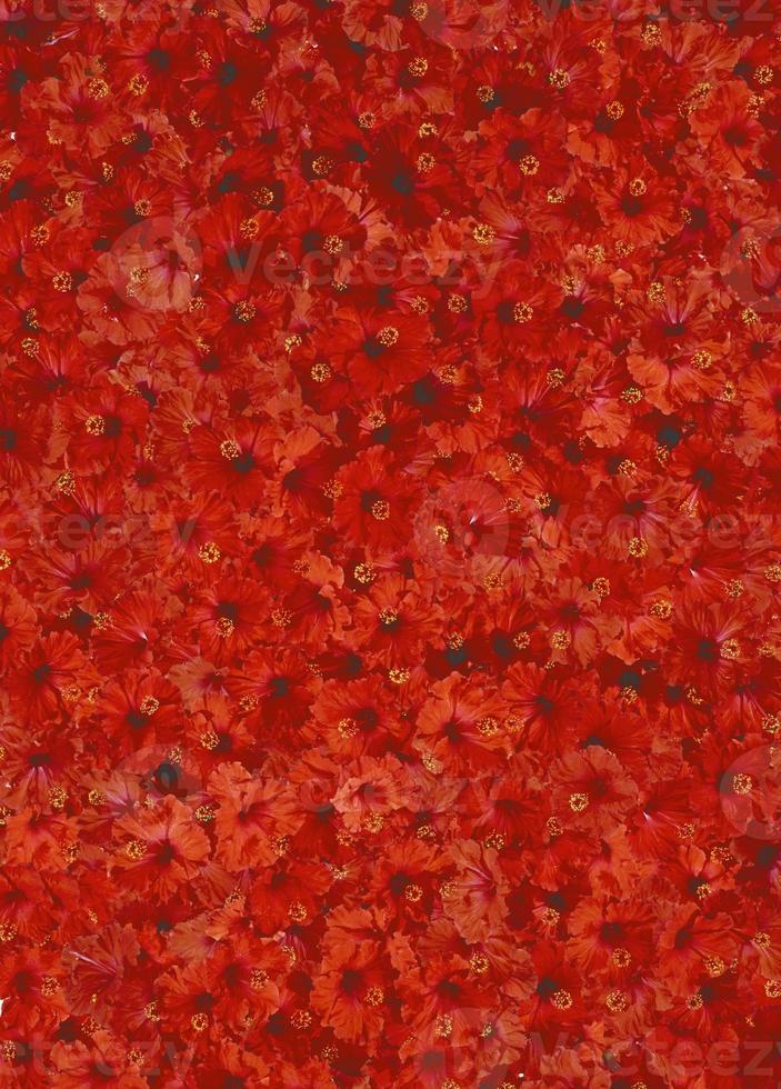 hibisco rojo foto