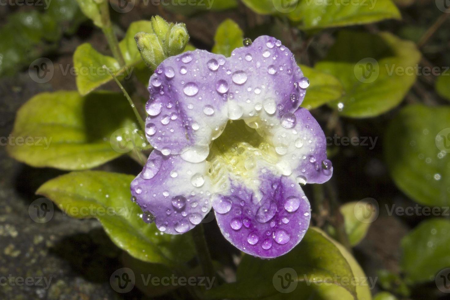 violeta china foto