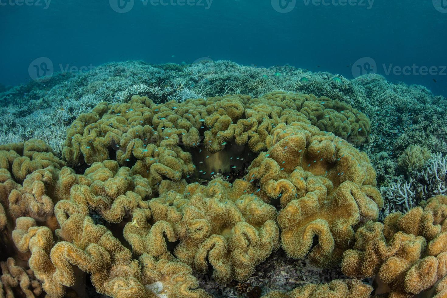 Soft Corals on Reef photo