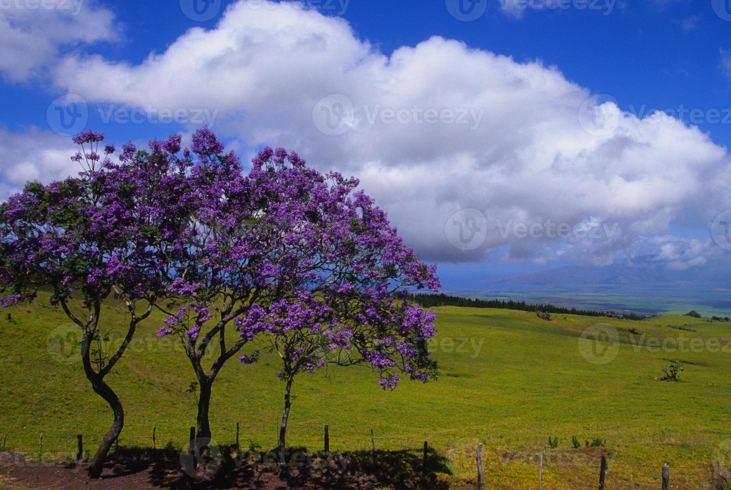 Jacaranda Trees on Maui photo