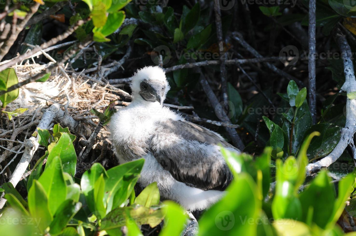 Red-footed Booby (Sula sula) photo