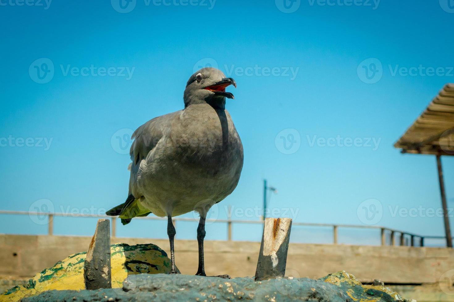 seagull in san cristobal galapagos islands photo