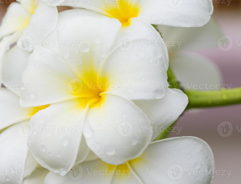 White and yellow plumeria flowers photo