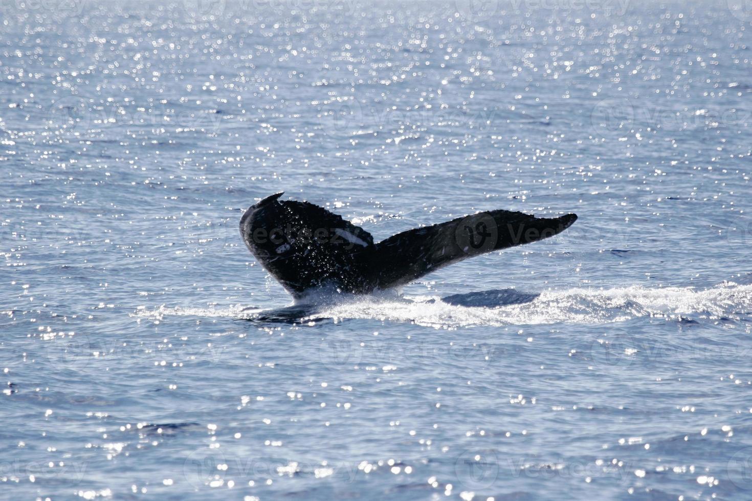 cola de ballena jorobada foto