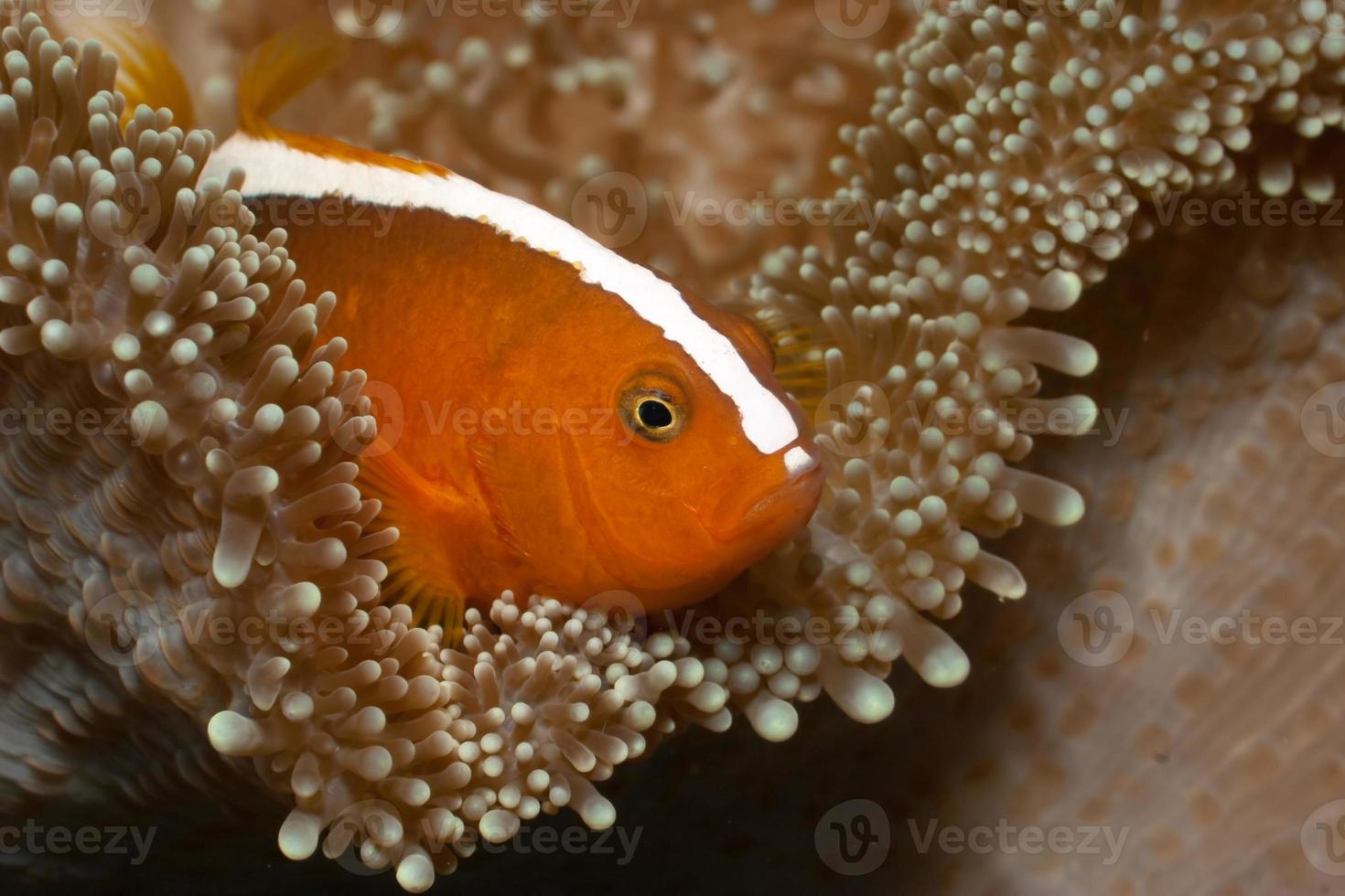 Orange Anemonefish Amphiprion sandaracinos in Merten's Carpet Sea Anemone photo