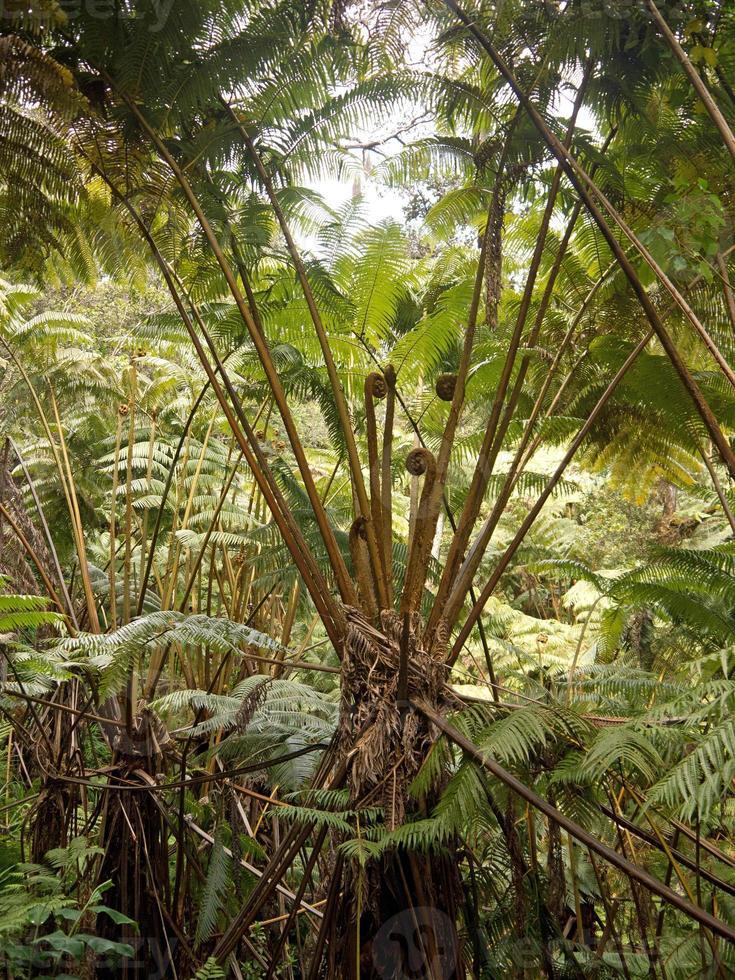 Giant fern on Hawaii photo