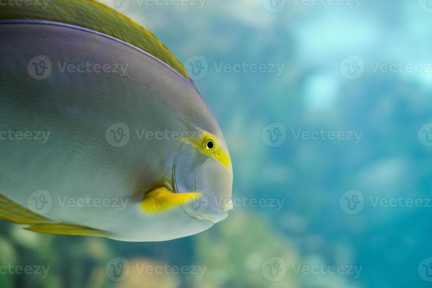 Colorful Tropical Hawaiian Pacific Fish in Aquarium Exhibit photo