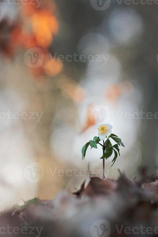 anémona de madera, windflower, thimbleweed foto