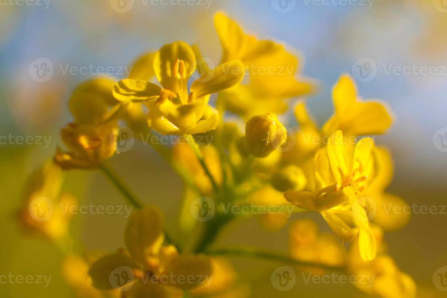 disparo macro flores. foto