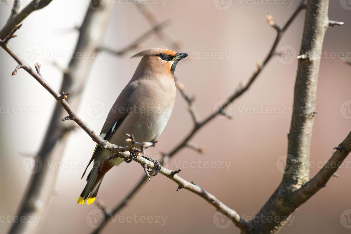 Bohemian Waxwing perched on a branch during spring photo