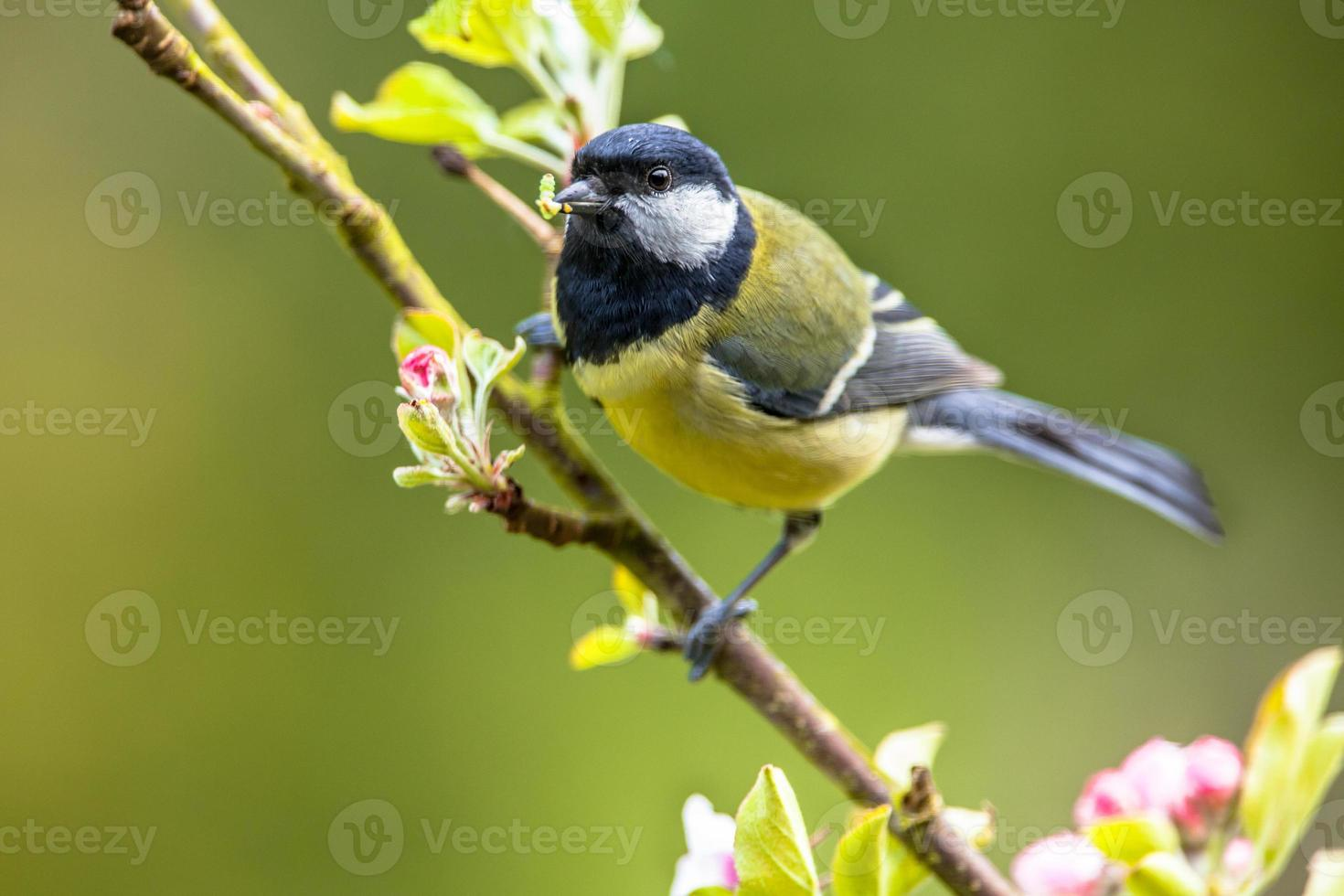 Great tit feeding young photo