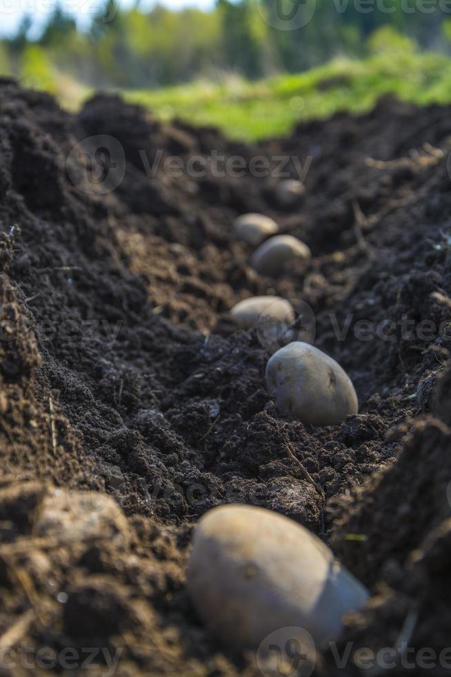 aardappels klaar om te groeien. foto