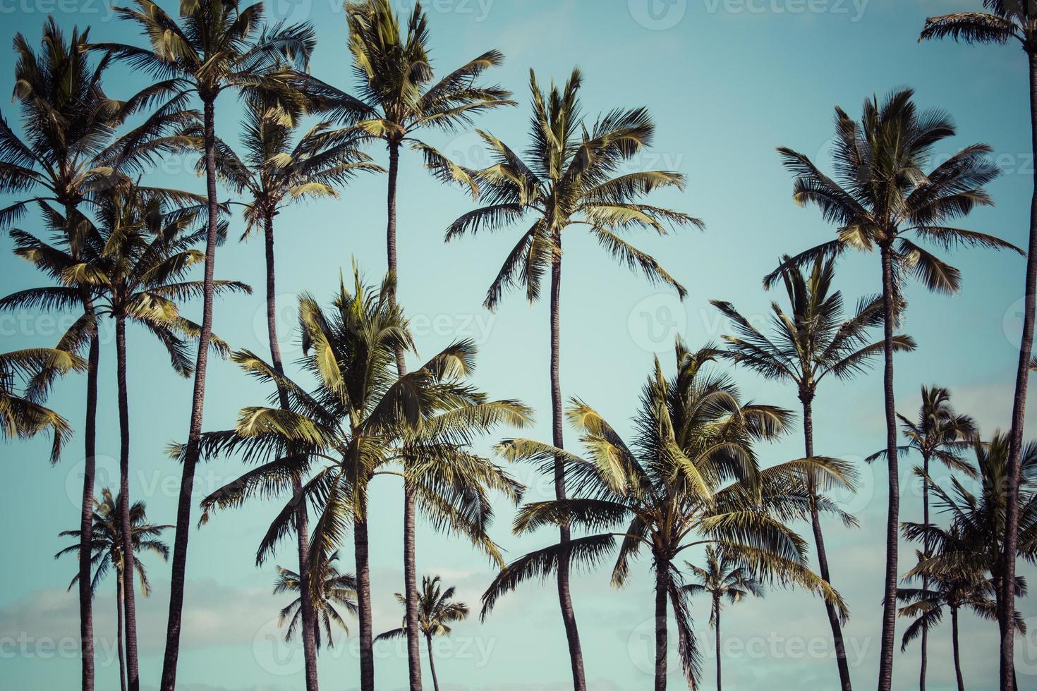 Palma de coco en Hawaii, Estados Unidos. foto