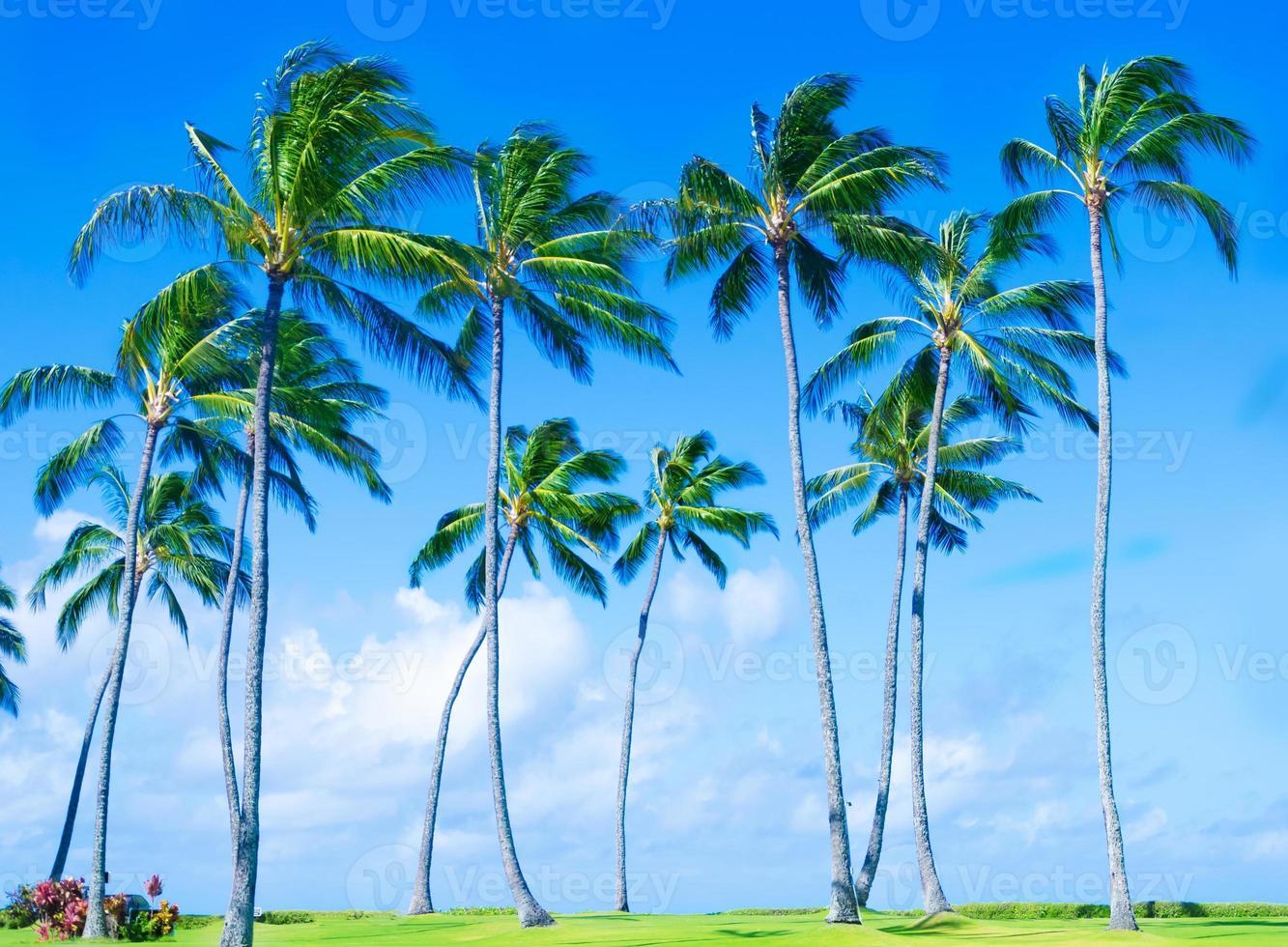 kokospalm boom op het strand in Hawai foto
