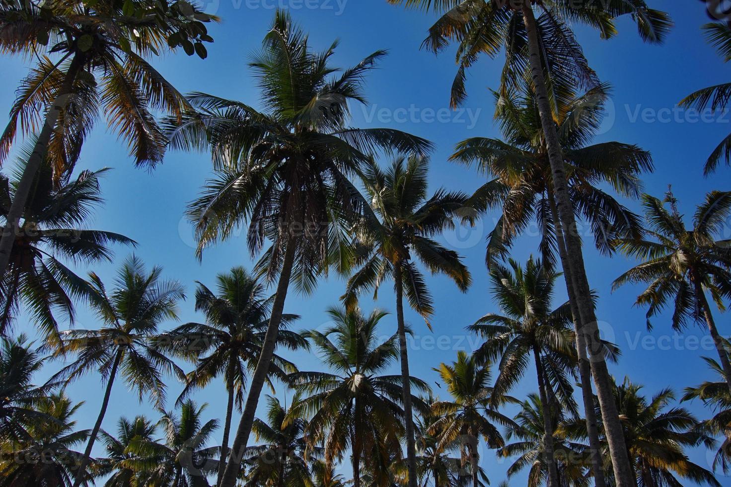 palmera, foto