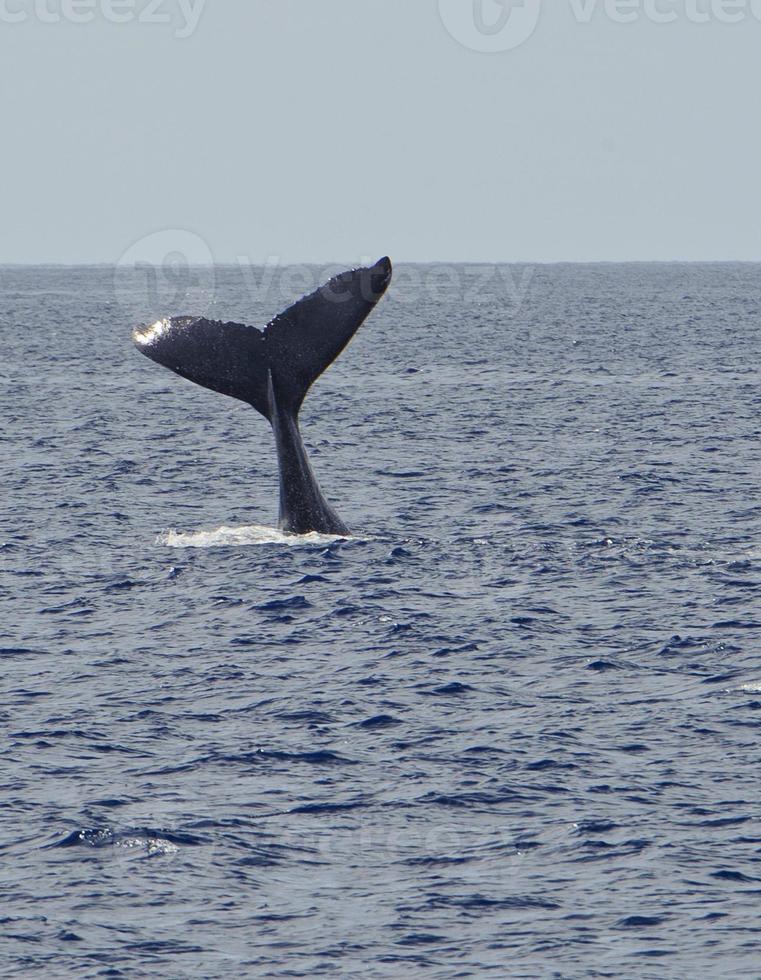 alta cola de ballena jorobada extendida foto