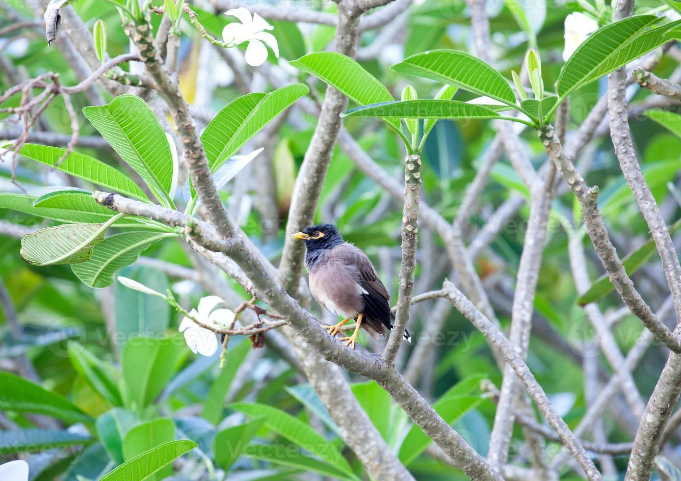 myna bird foto