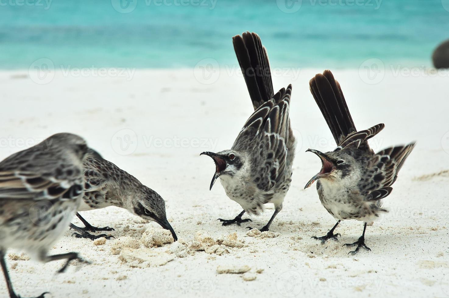 galapagos spotlijster. foto