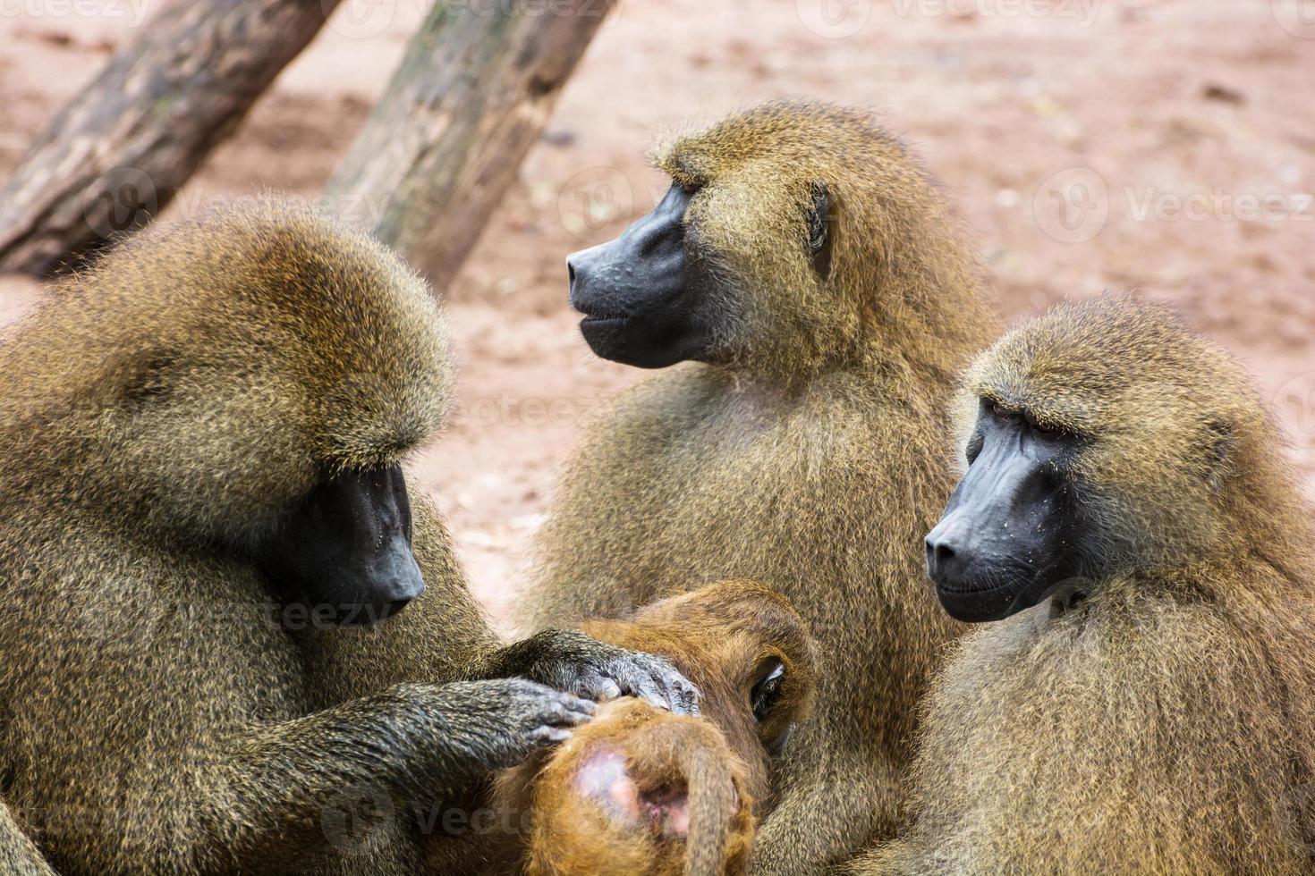 Guinea baboon family photo