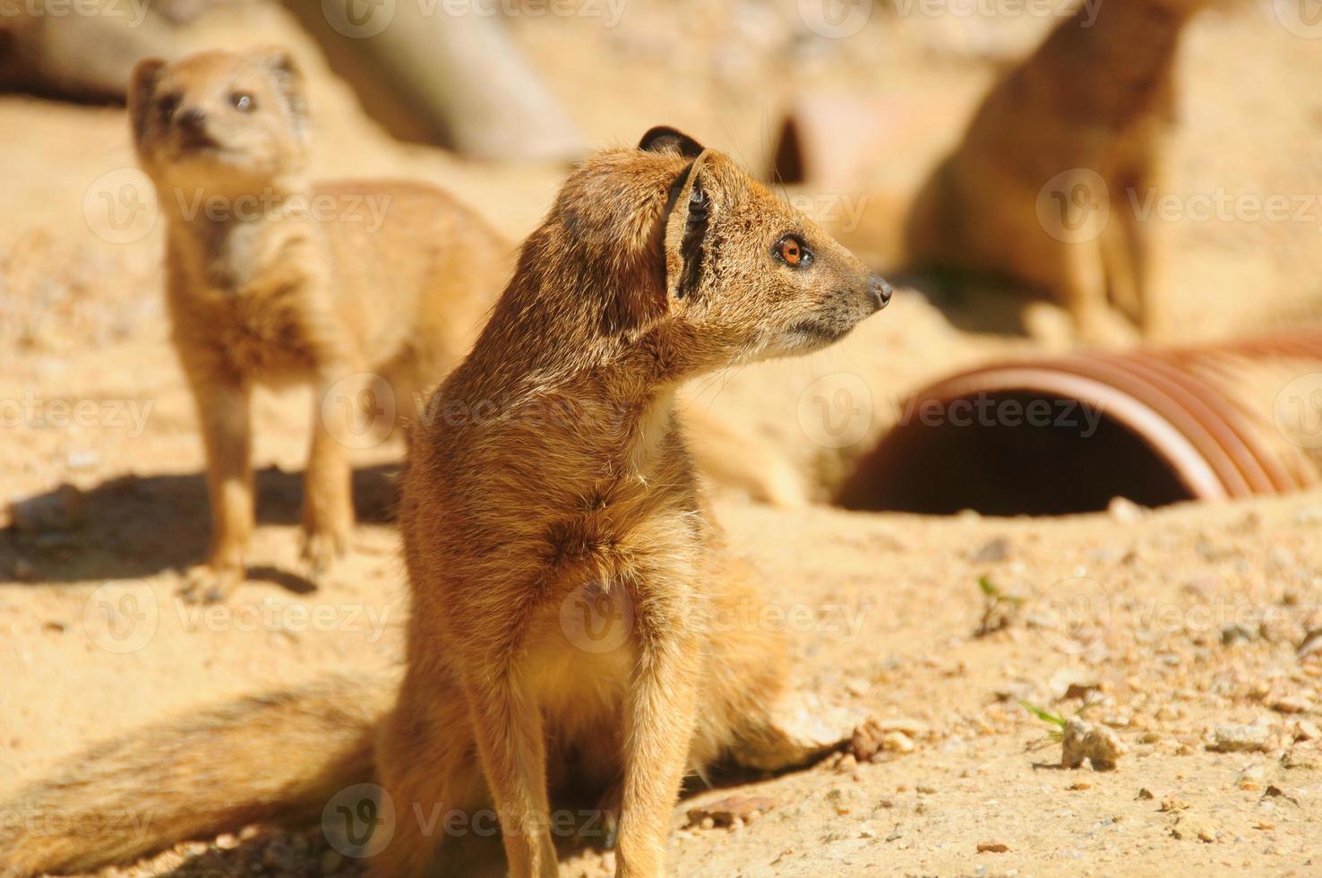 Yellow Mongoose family. photo