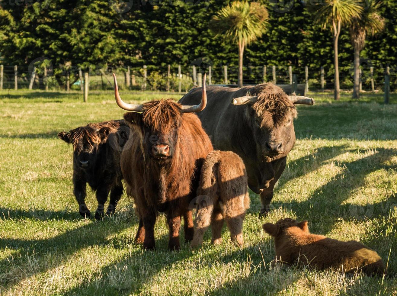 família de gado das montanhas foto