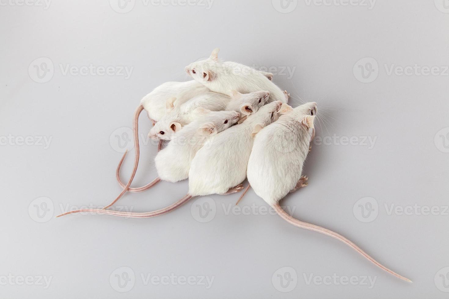 família de rato albino foto