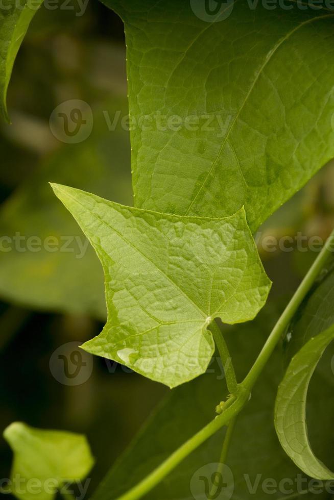 hojas de chayote foto