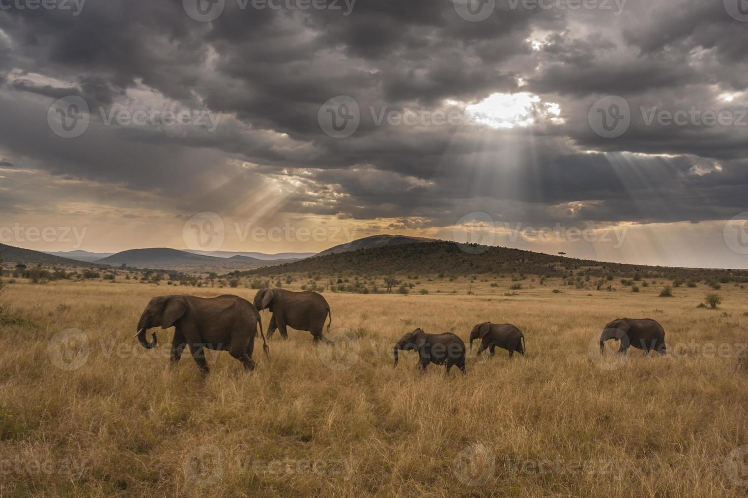 familia de elefantes marchando por la sabana foto