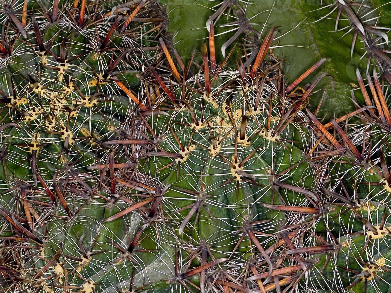 Ferocactus horridus (family: Cactaceae) photo