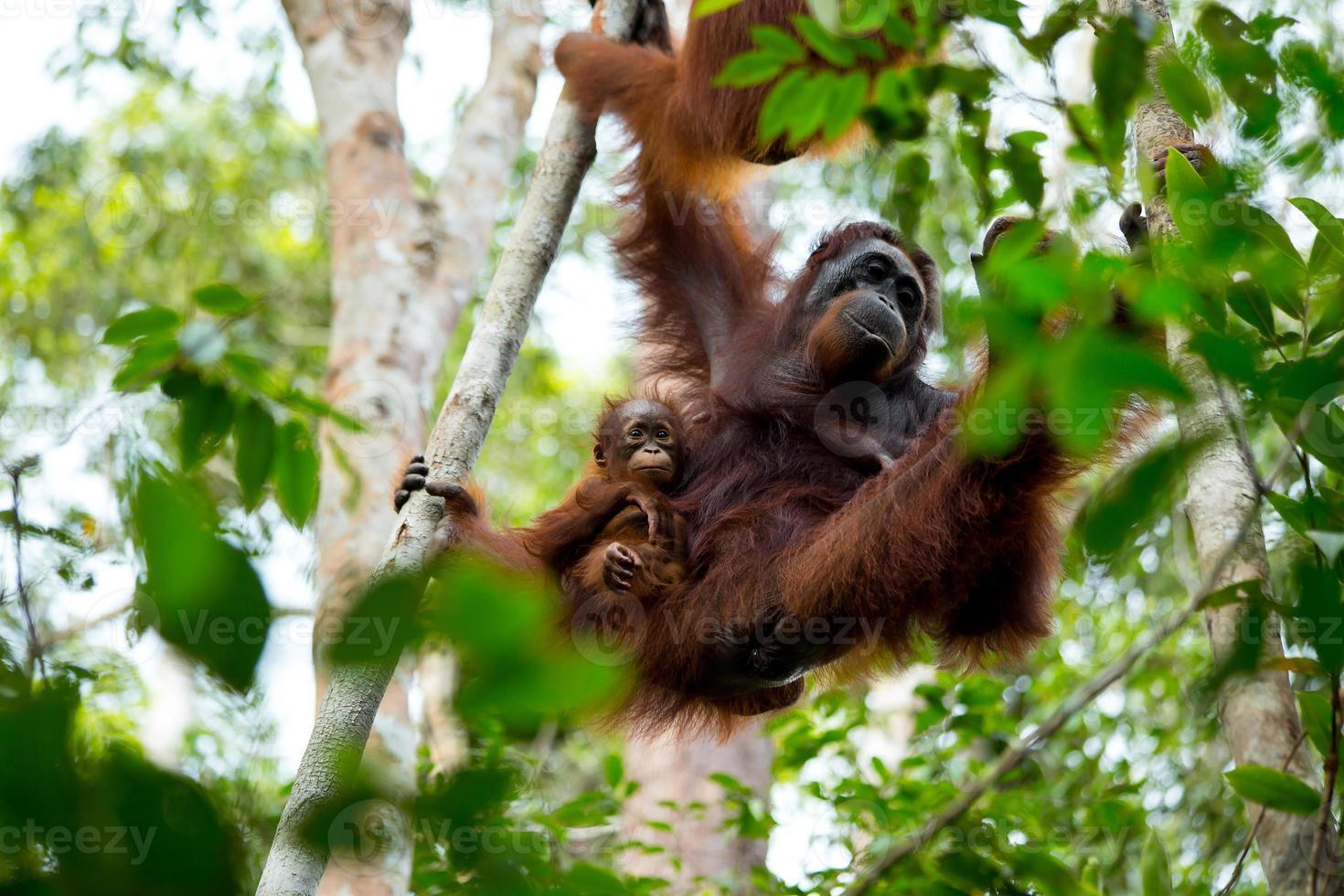 Familia de orangutanes en Borneo, Indonesia. foto
