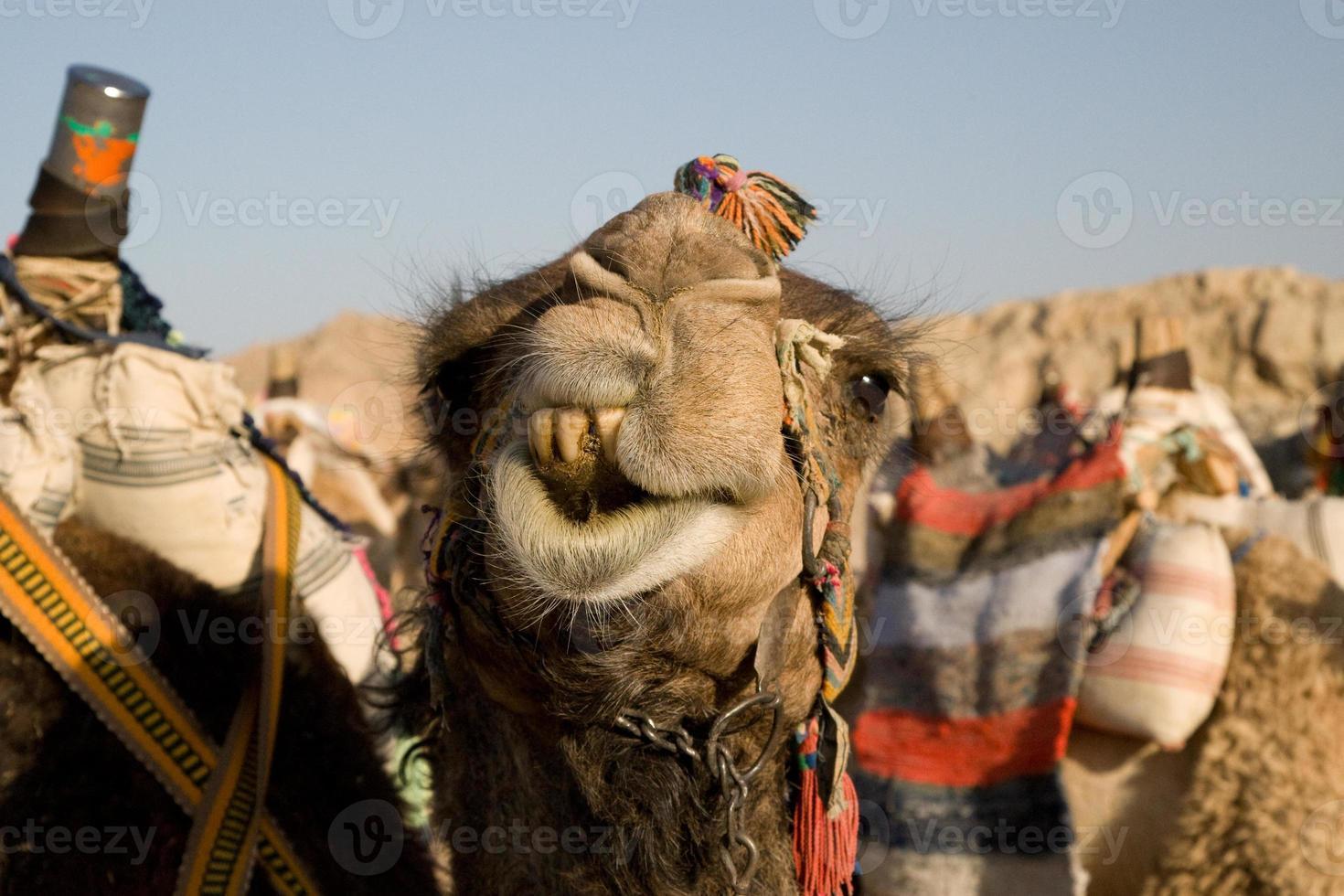 retrato de camello foto