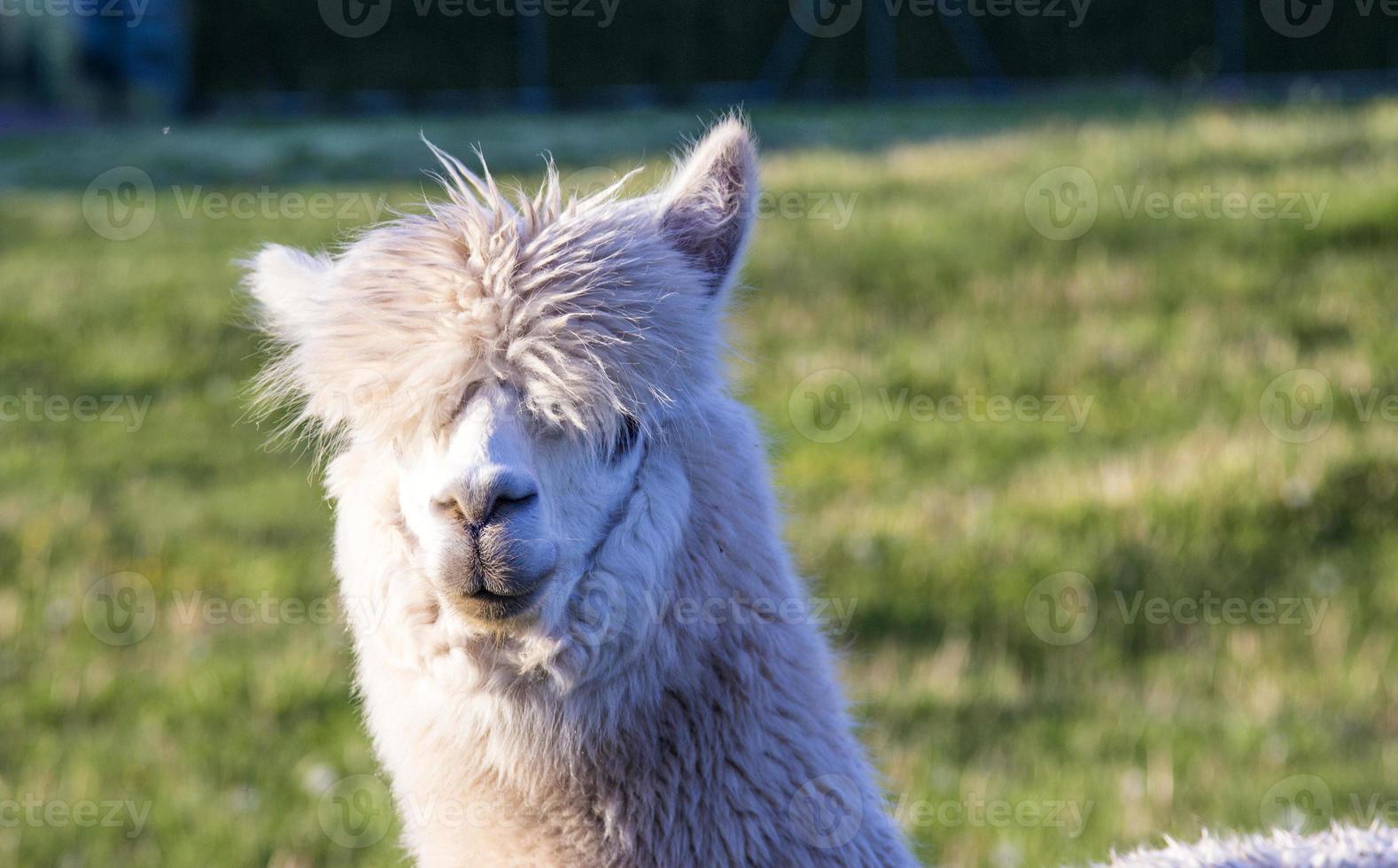 alpaca portrait photo