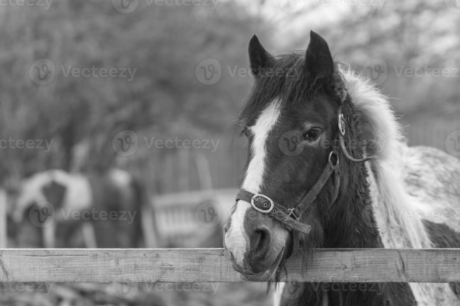 Horse Portrait photo