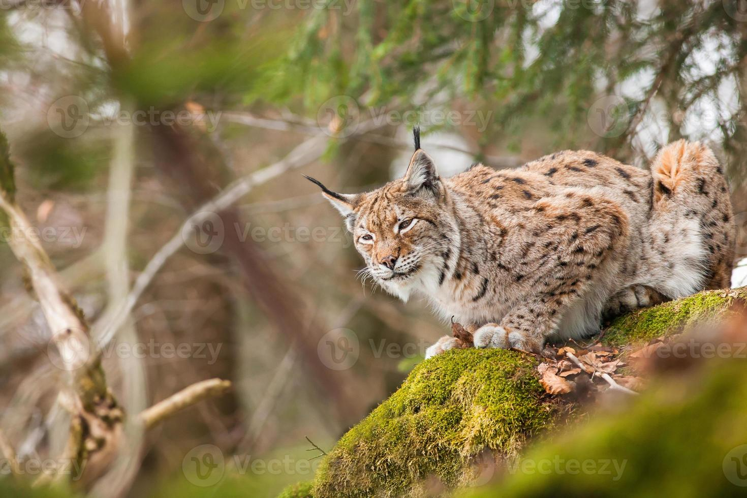 portrait lynx photo