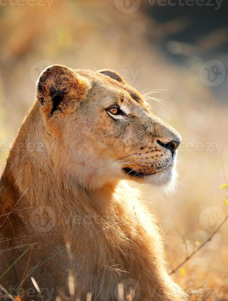 retrato de la leona foto