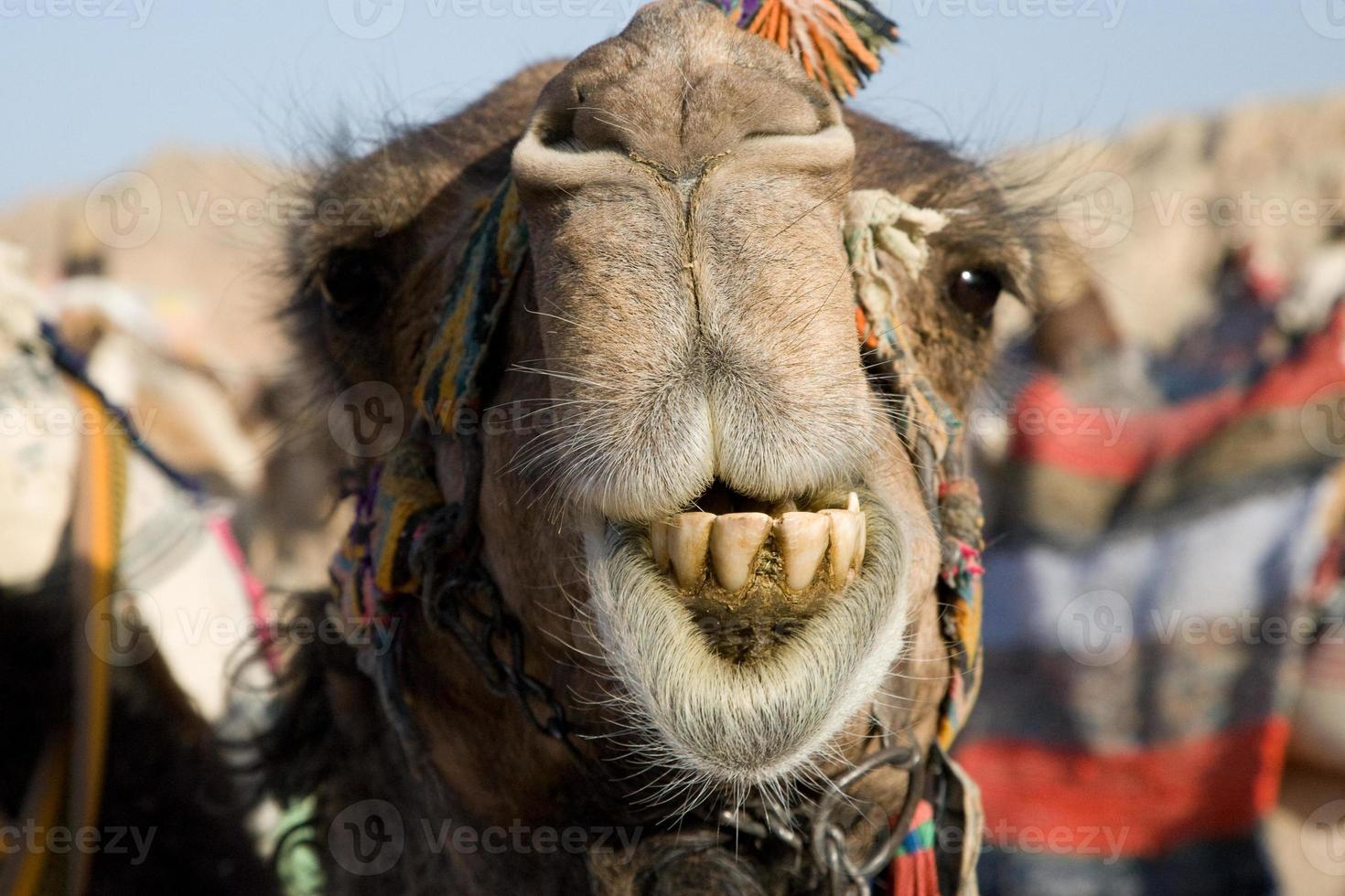 Camel Portrait photo