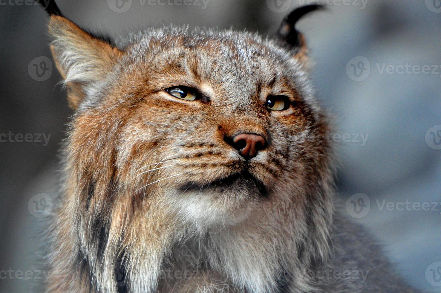 Lynx Portrait photo