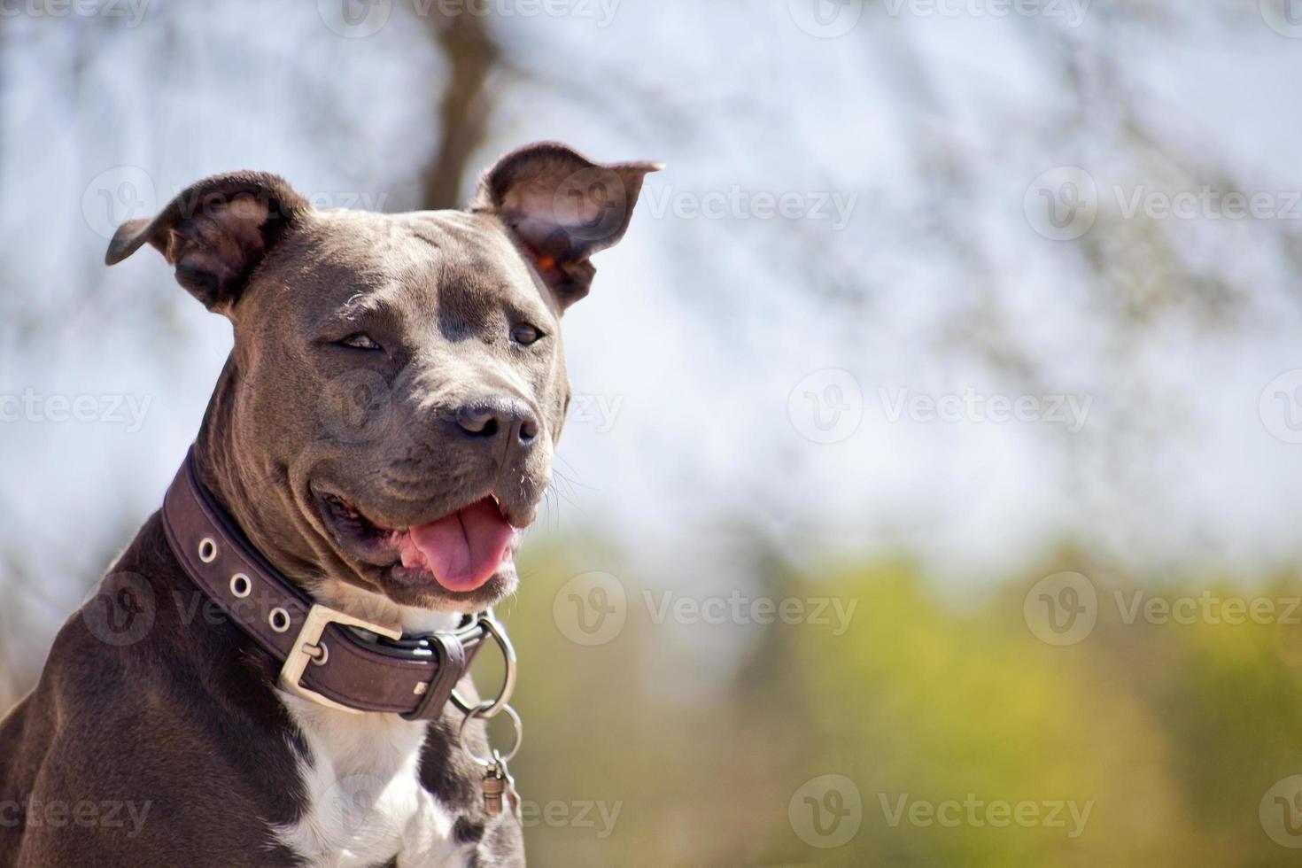 retrato de pitbull foto
