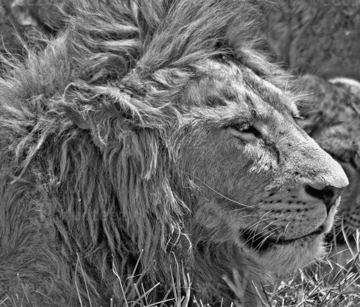 retrato de leon foto