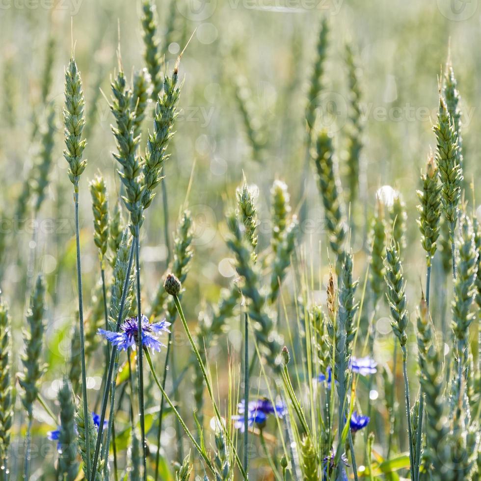 Cornflowers and Common Wheat photo